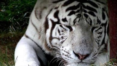 Photo of В Ереванском зоопарке скончался белый тигр Бинго