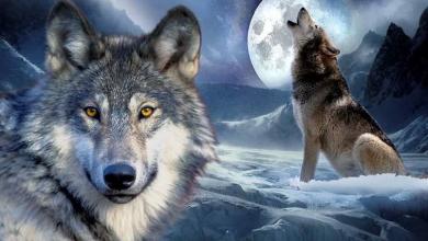 Photo of Австрийские ученые признали волков заботливее собак