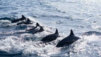 Photo of ВКанаде запретили содержать вневоле дельфинов икитов