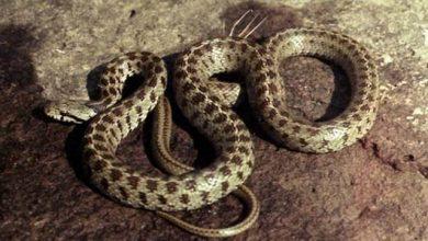 Photo of Փրկարարները 4 օձ են բռնել, 2-ը՝ գյուրզա