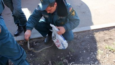 Photo of Օձերն ակտիվացել են. փրկարարները բռնել են 2 սահնօձ, 1 իժ, 1 գյուրզա տեսակի օձ