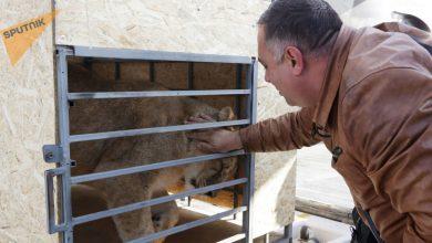 Photo of Гектор доверяет только Даллакяну, армянин подружился с тигром и пытается спасти его