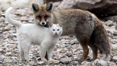 Photo of Ինչպես են կատուն եւ աղվեսը ընկերաբար խաղում եւ ողջագուրվում