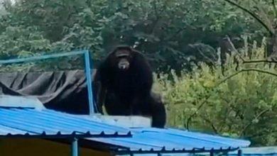 Photo of Сообразительный шимпанзе придумал способ сбежать из зоопарка