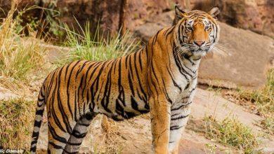 Photo of Знаете ли вы, сколько на планете осталось тигров? Намного, намного меньше, чем вы думаете