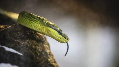 Photo of Առաջին բուժօգնությունը՝ օձի խայթոցի դեպքում