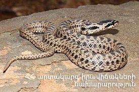 Photo of Երևանում և Զովունի գյուղում փրկարարները բռնել են 2 սահնօձ տեսակի օձ