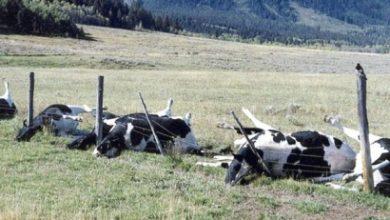 Photo of Արտակարգ դեպք Կոտայքի մարզում. կայծակի հետևանքով 10 խոշոր եղջերավոր անասուն է սատկել
