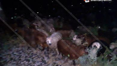 Photo of Արարատի մարզում 79 գլուխ մանր եղջերավոր անասուններ ընկել են գնացքի տակ. բոլորը սատկել են