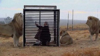 Photo of Зоологи установили клетки, чтобы туристы и хищники могли понаблюдать друг за другом