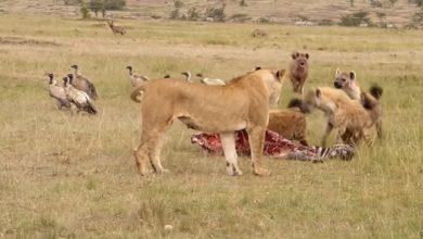 Photo of Лев прогнал прочь от добычи гиен, обидевших львицу