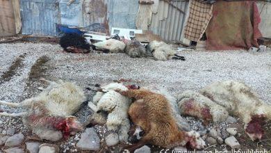 Photo of Գայլերը հոշոտել են Աշոտ Խ.-ին պատկանող 27 ոչխար, 13-ին վնասել, իսկ 10-ը կորել են