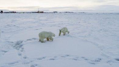 Photo of 60 голодных медведей: из-за теплой погоды село на Чукотке живет в постоянном страхе