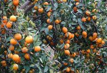 Photo of Վրաստանում ցիտրուսի բերքը վտանգի տակ է