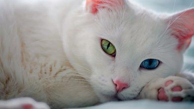 Photo of Турецкие ученые: »Ванские кошки предпочитают слушать Моцарта»