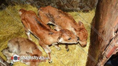 Photo of Արտառոց դեպք Շիրակի մարզում. Անուշավան գյուղում կովը միանգամից երեք հորթուկ է ծնել