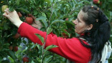 Photo of Коронавирус: Западная Европа завозит гастарбайтеров для спасения урожая. BBC