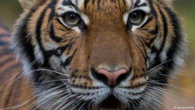 Photo of Тигр в зоопарке Нью-Йорка заразился коронавирусом от человека. dw.com