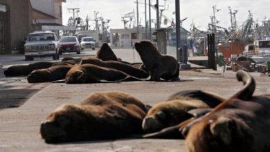 Photo of В Аргентине морские львы осваивают опустевшие из-за карантина улицы