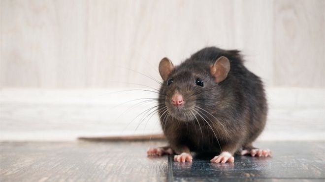 Photo of Коронавирус: крысы голодают и становятся агрессивнее. Насколько это опасно?