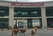 Photo of Վրաց-թուրքական սահմանի Սարպի անցակետում այլևս հերթեր չկան․ ազատ թափառում են կովերը
