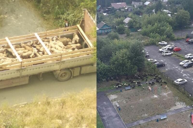 Photo of Ոչխարներին բերում են բեռնատարներով, մորթում շենքերի բակերում. Եկատերինբուրգի բնակիչները դժգոհում են