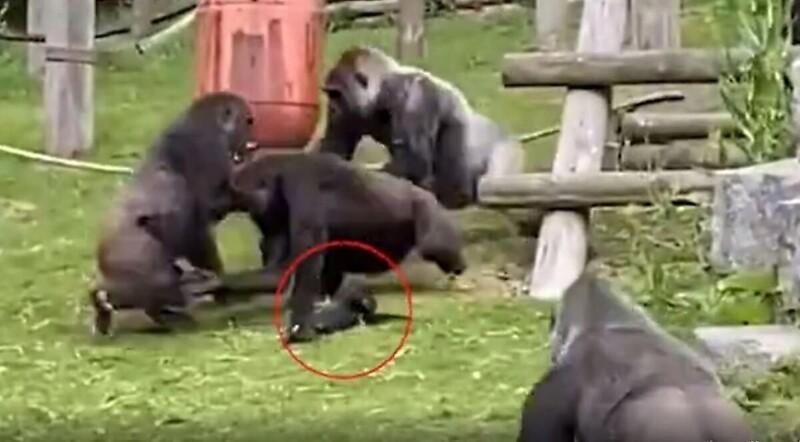 Photo of Ինչպես են արու գորիլաները բաժանում կռվի բռնված էգերին եւ փրկում ձագին