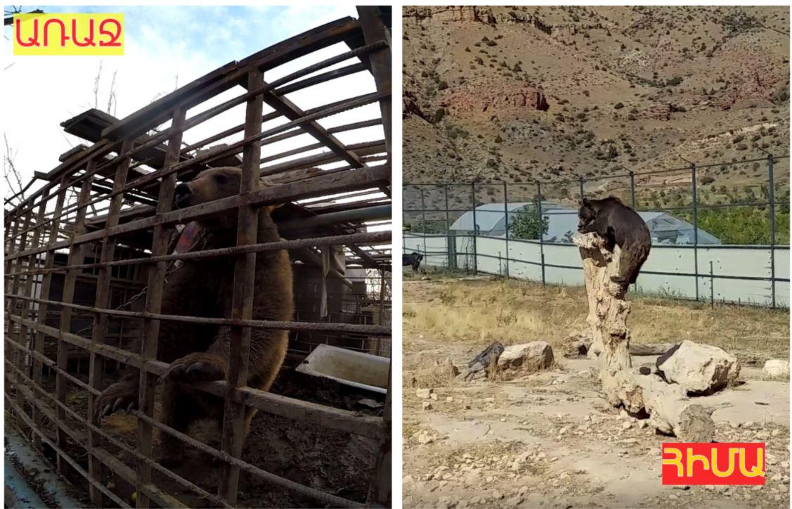 Photo of Долгие годы на цепи: медведь Балу в Армении возвращается к жизни после ужасных условий