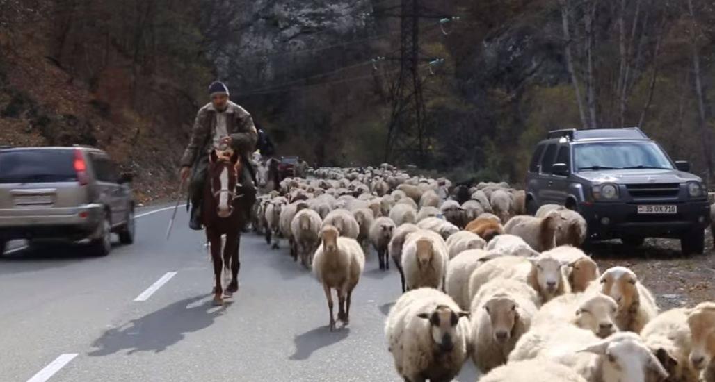 Photo of 4-5 օր ա՝ գալիս ենք, դեռ 2 օր էլ կգնանք. արցախցի հովիվները հոտը ոտքով Հայաստան են բերում. news.am