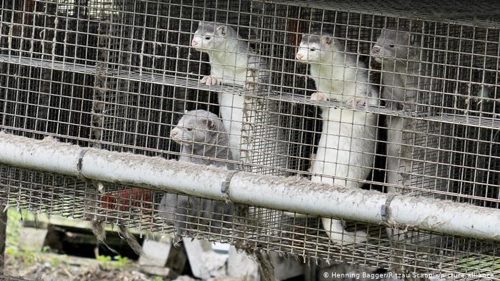 Photo of ВОЗ рассказала о случаях заражения норок коронавирусом в шести странах