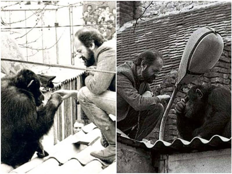 Photo of История шимпанзе, который 2 раза сбегал из Белградского зоопарка