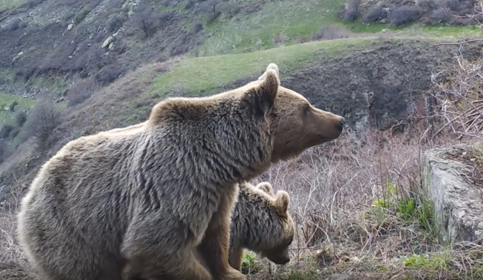Photo of Ինչպես են մայր արջն ու քոթոթները վայելում իրենց ազատությունն ու անկաշկանդ առօրյան վայրի բնության մեջ