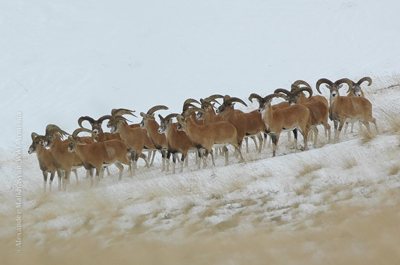 Photo of Հայակական մուֆլոնը՝ հայոց լեռներում․ բացառիկ լուսանկարներ