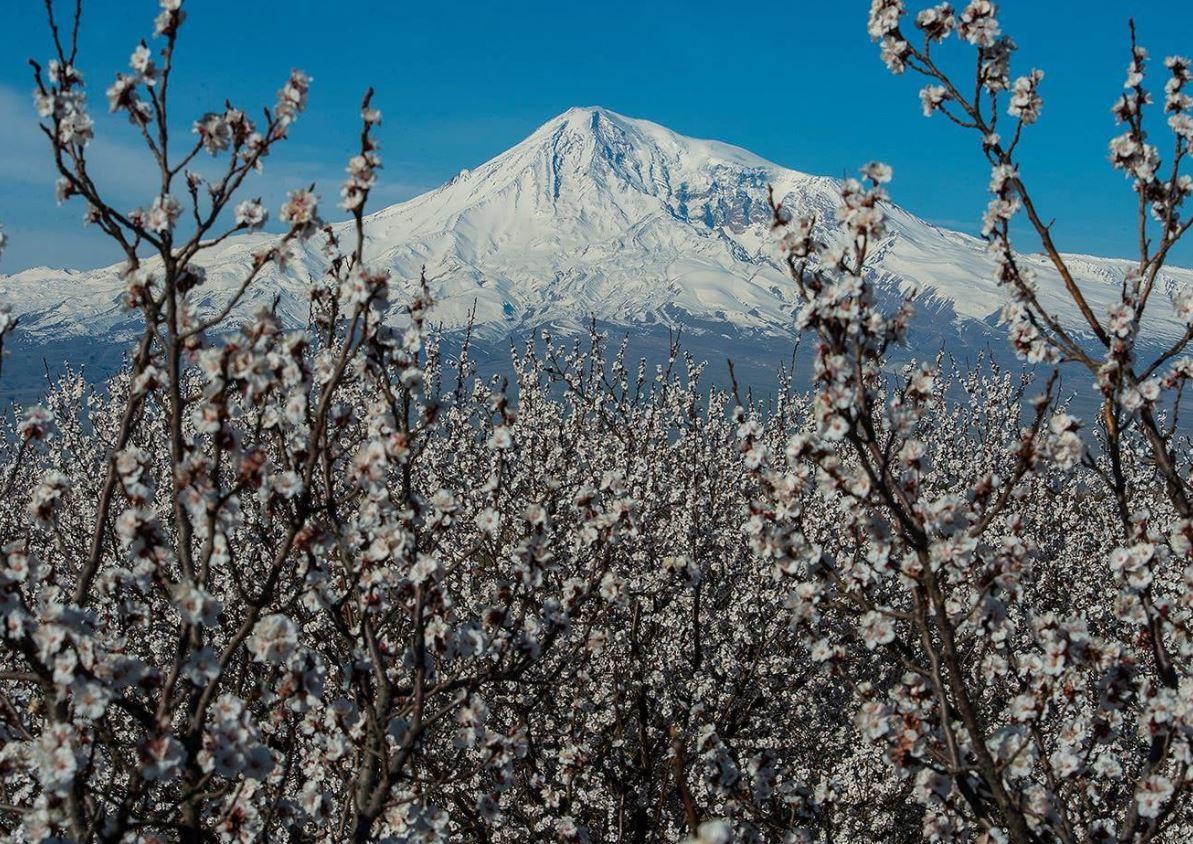 Photo of В Араратской долине ожидается массовое цветение абрикоса