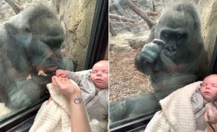 Photo of Ինչպես է հմայված մայր գորիլան փորձում շոյել երեխային եւ ժեստերով շփվել նրա ծնողների հետ